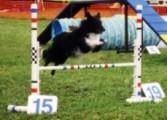 black and white dog in midair over jump