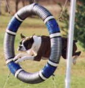 boxer jumping through tire